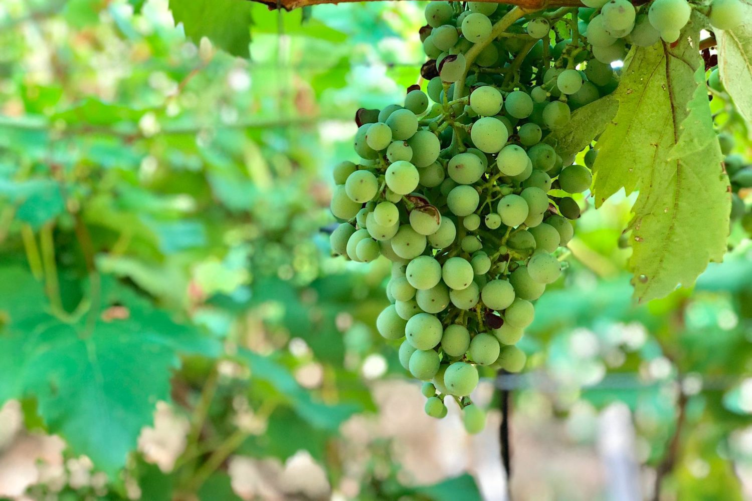 natural white grape