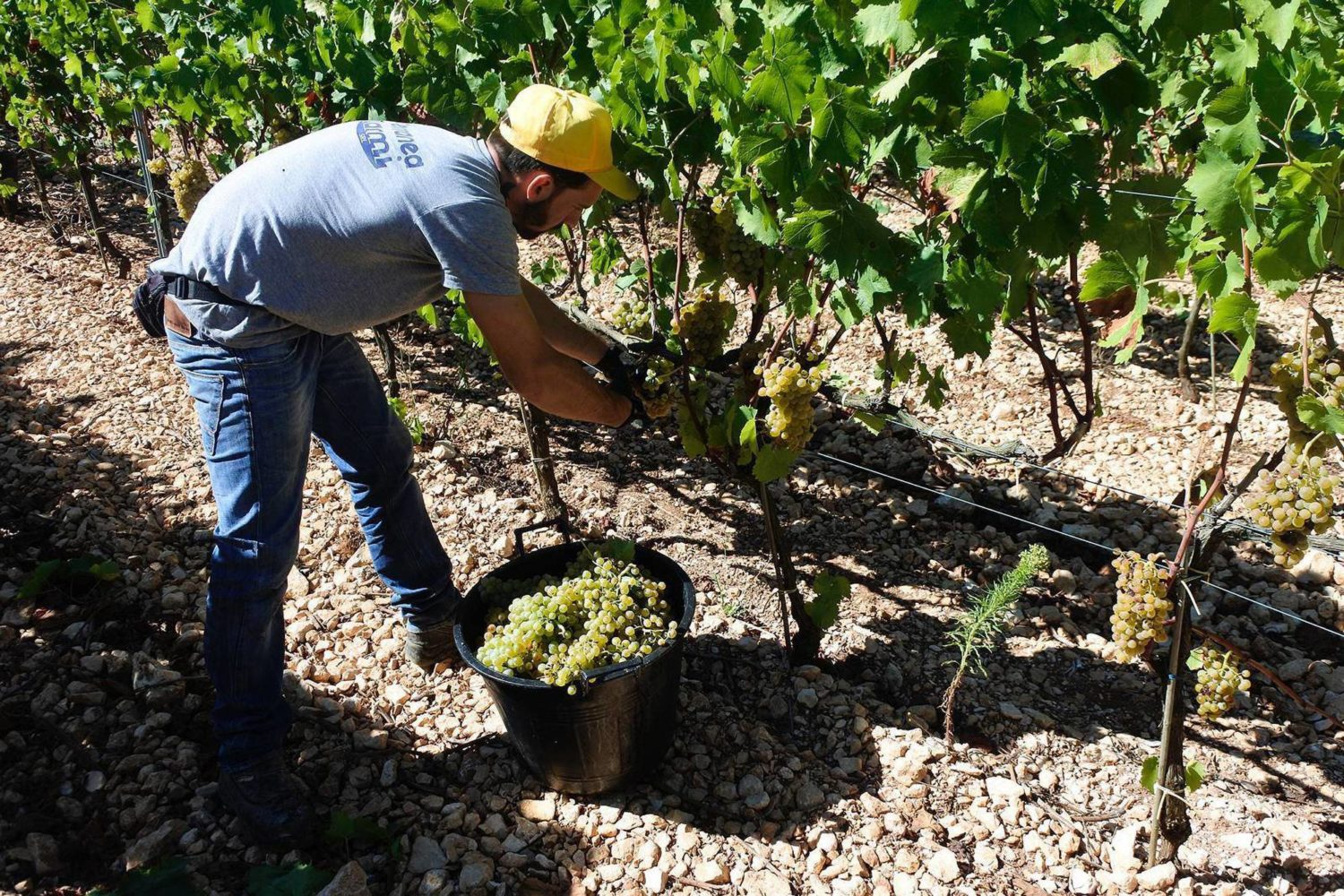 How wine is made in Puglia