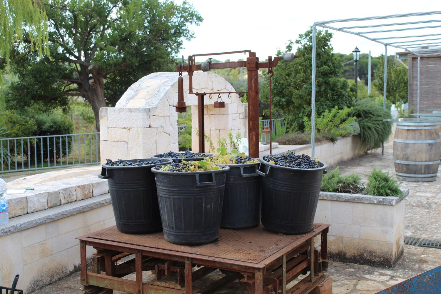 Join' wine harvest Puglia