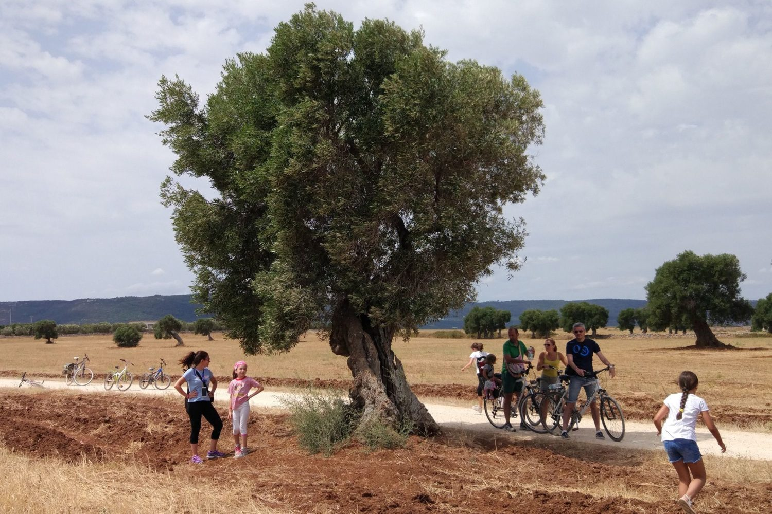 Olive oil trees tour Puglia Italy