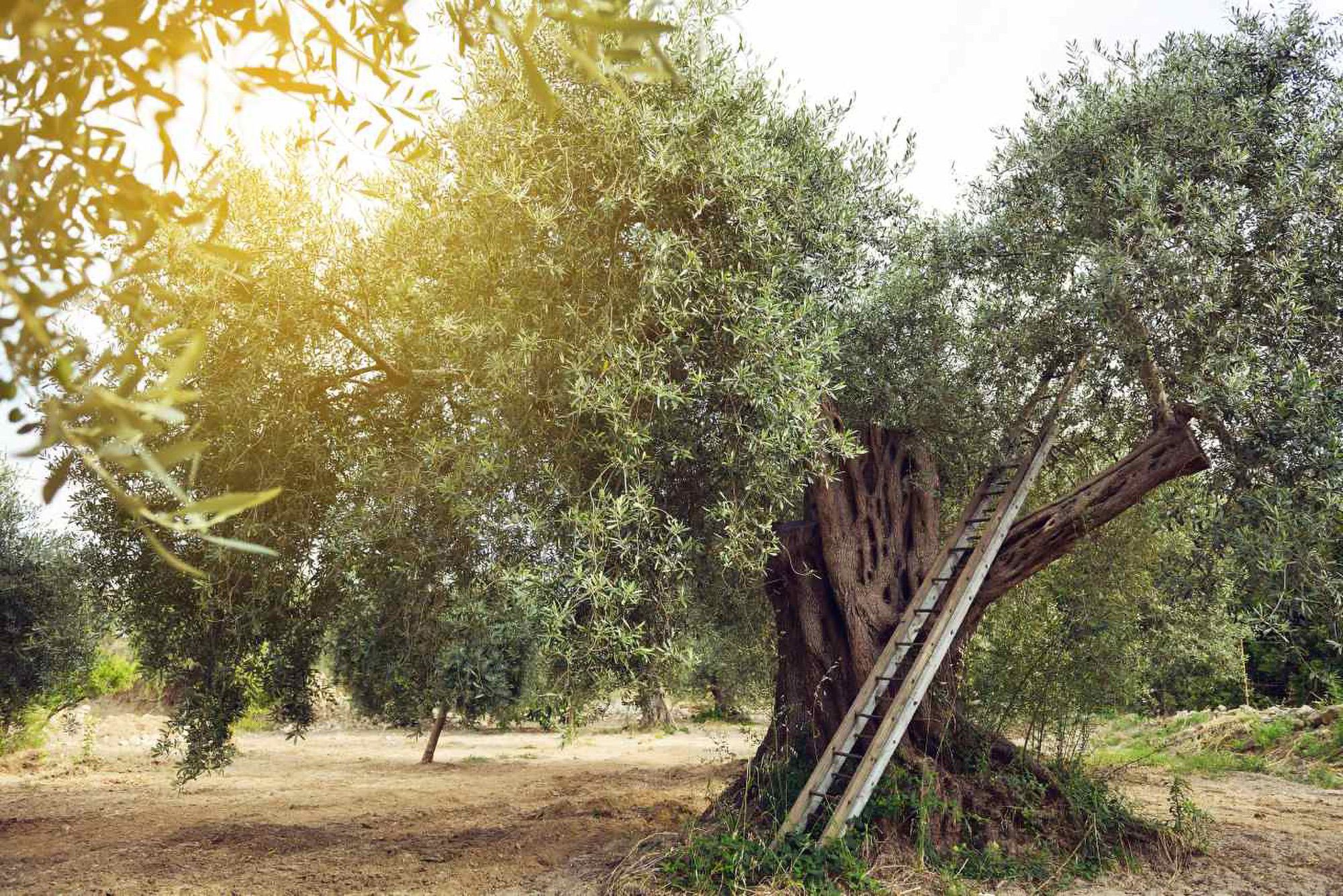 Olives picking up experience Puglia
