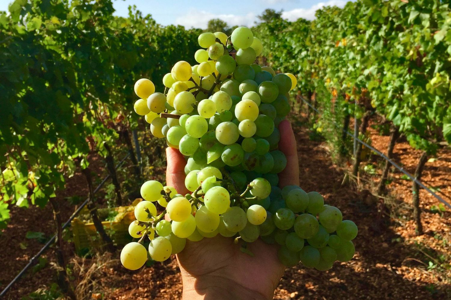 When it's time to harvest the grapes in Puglia?