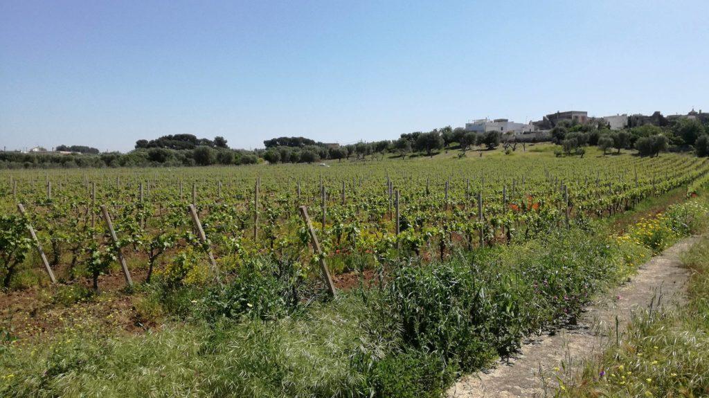La strada del Primitivo tra Lizzano e Manduria