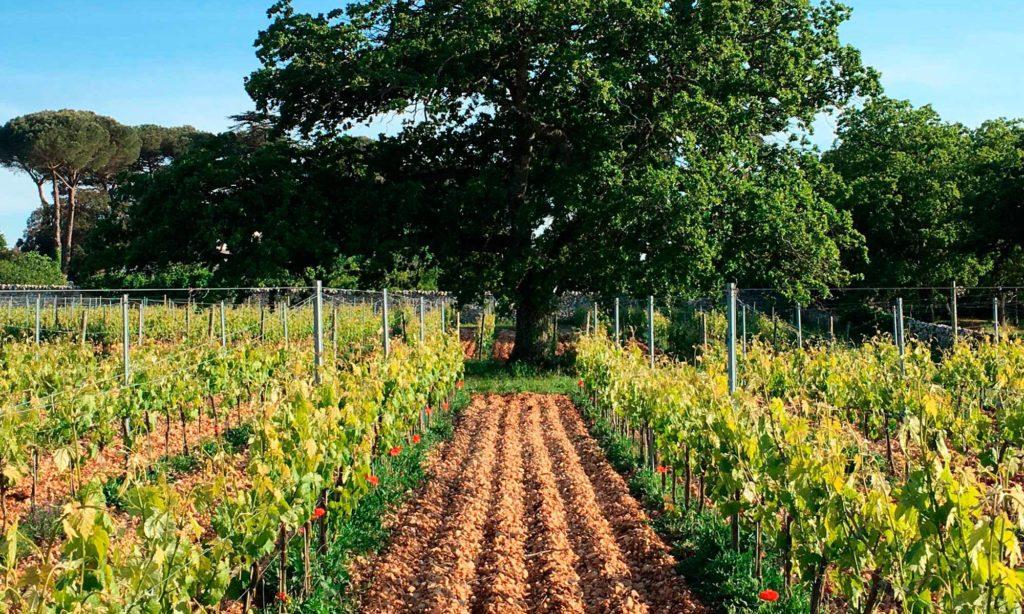 Organic Vineyard of Masseria Croce Piccola Martina Franca Puglia