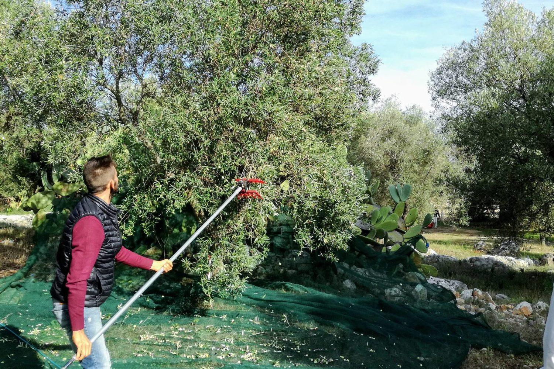 Partecipare alla raccolta delle olive in Puglia