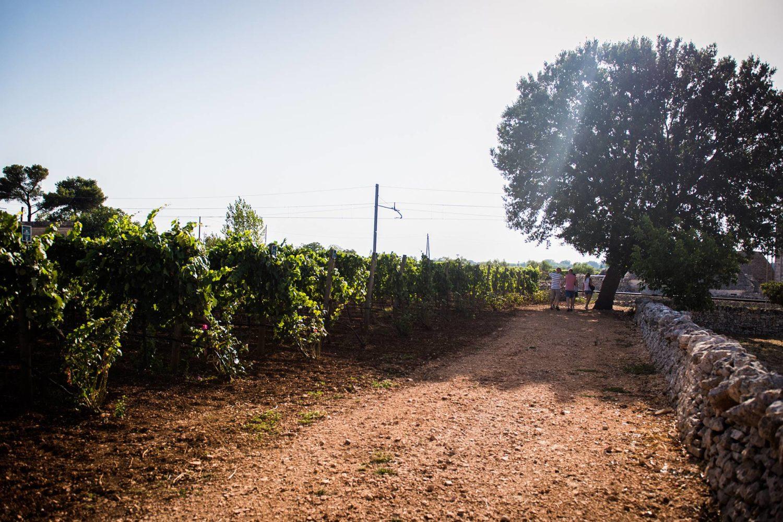 Vineyard guided tour in Puglia