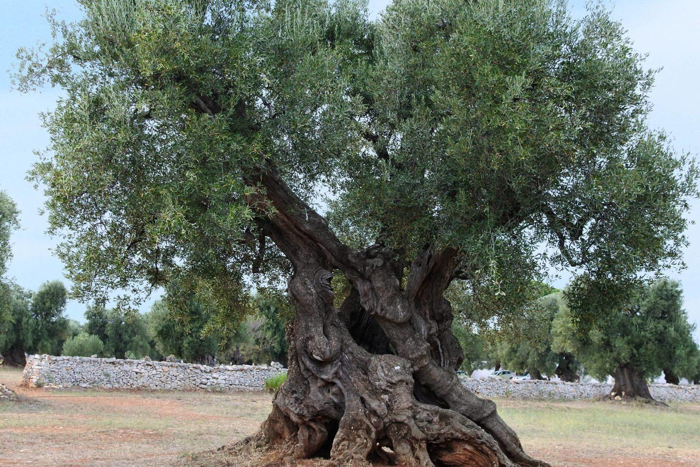 Masseria Brancati Ostuni ulivo millenario