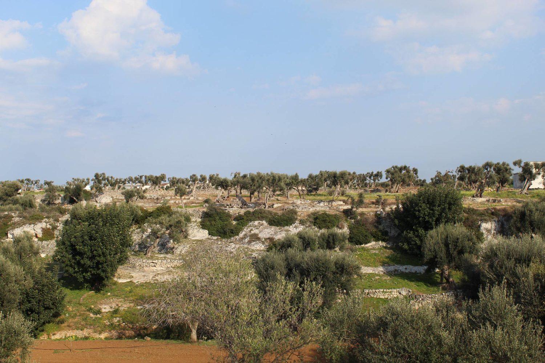 Plain of millennial olive trees Ostuni Puglia