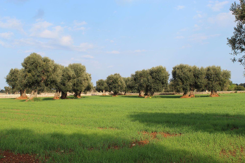 Olive oil production in Puglia
