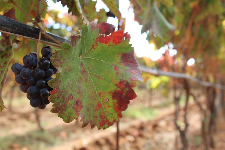 Apulian typical grape