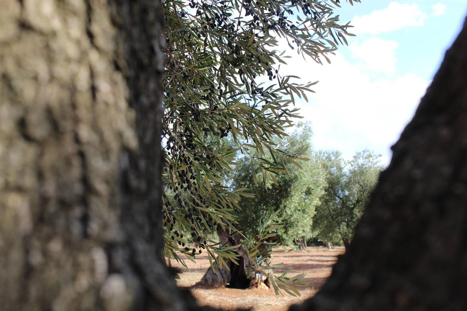 Old-centuries olive trees