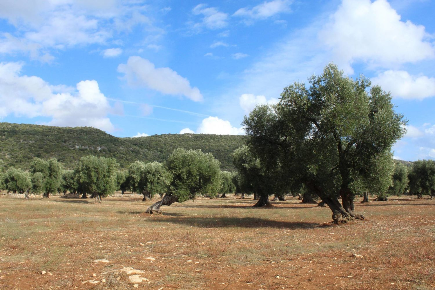 Olive oil production in Puglia