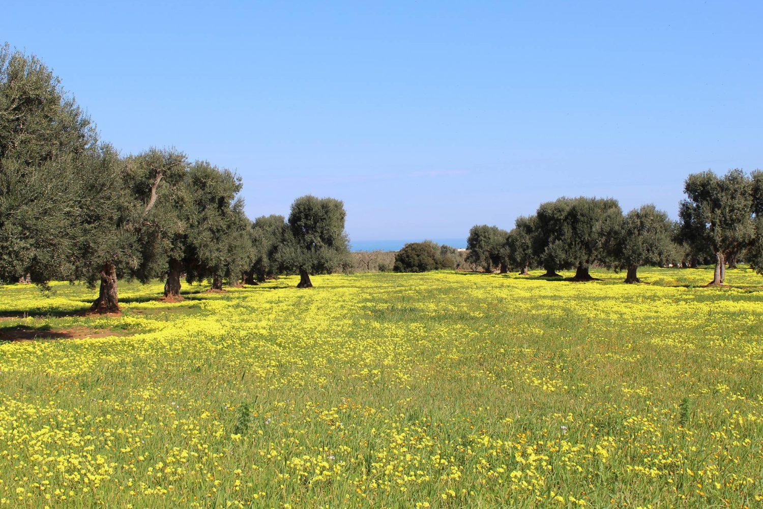 Olive oil trees tour in Puglia