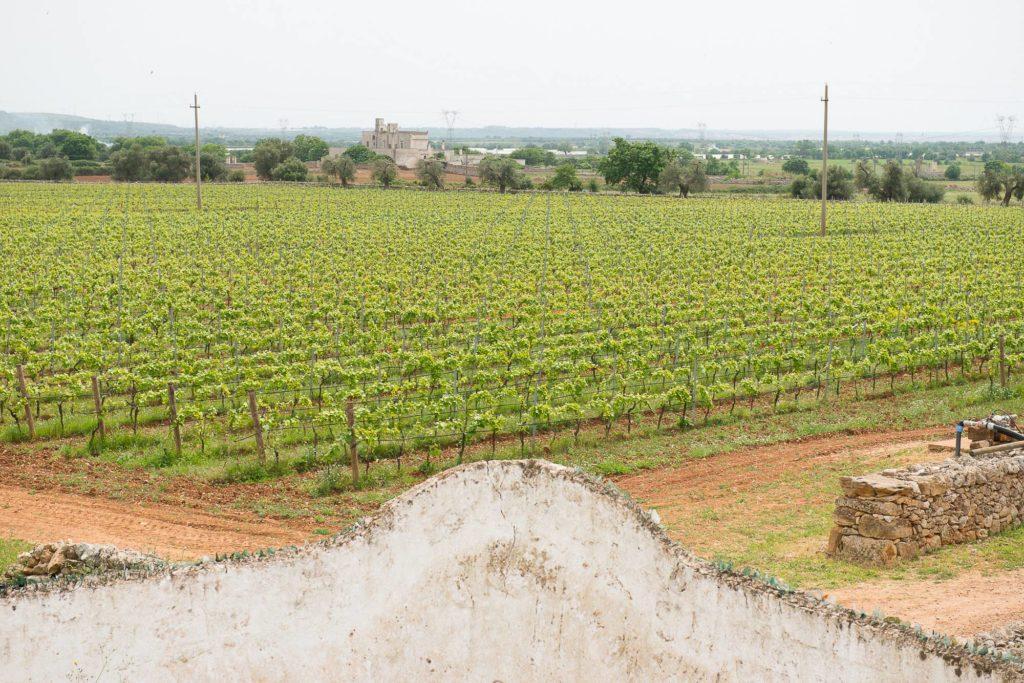 Organic vineyard in Puglia