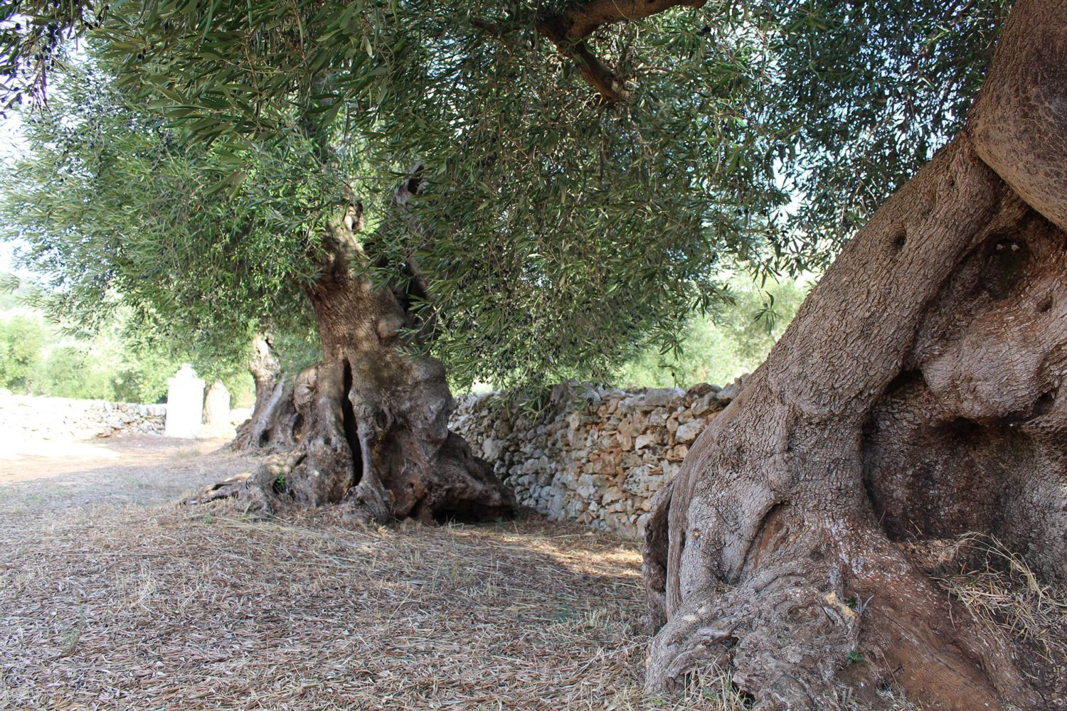 Visit to olive trees in Puglia