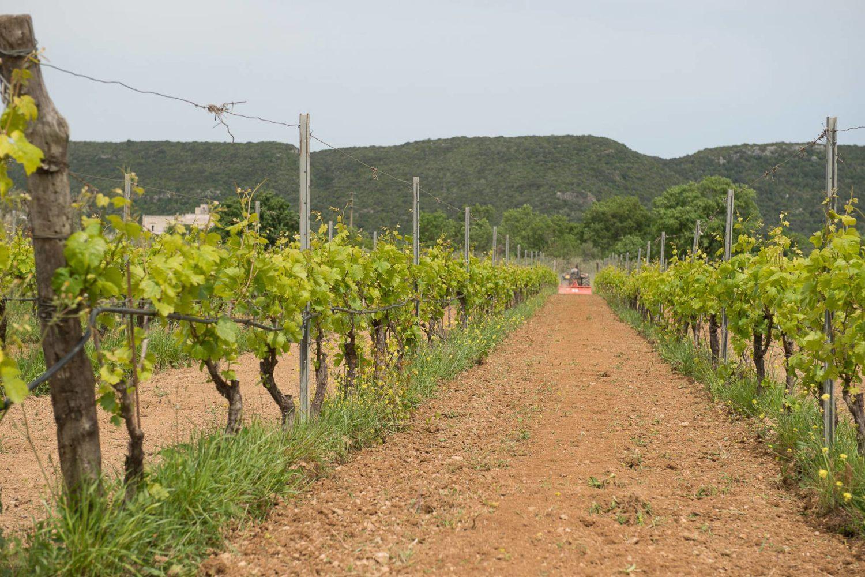Wine production in Puglia
