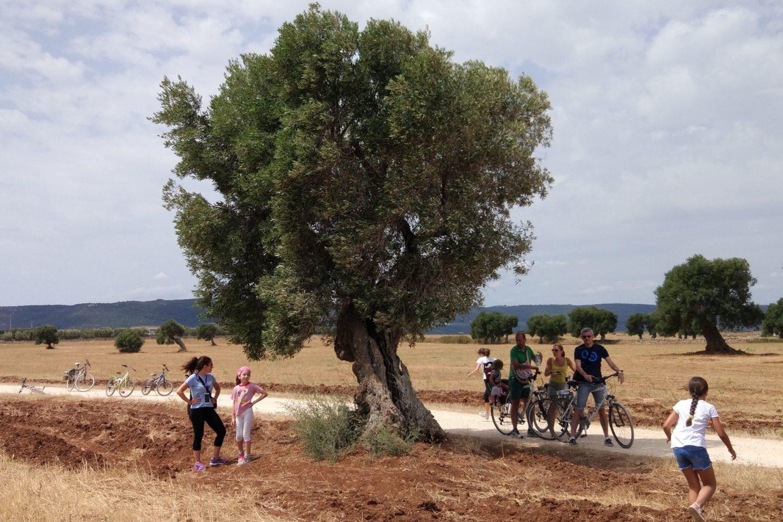 Olive oil trees tour Puglia Italy